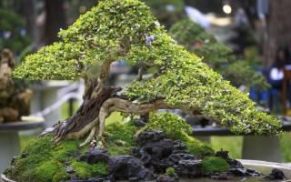Дерево бонсай что символизирует