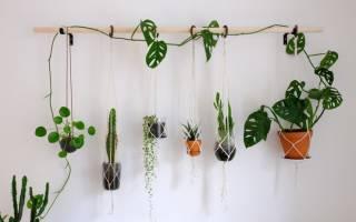 Лиановидные комнатные растения