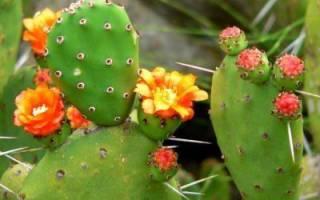 Домашний кактус виды размножение посадка полив подкормка