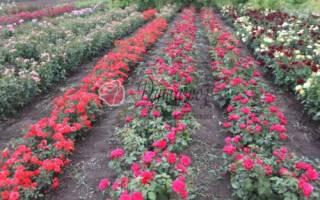 Розы почтой с бесплатной доставкой по россии