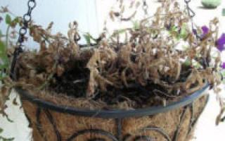 Петуния астры листья поблекли почему