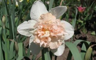 Нарцисс махровый сорта рози