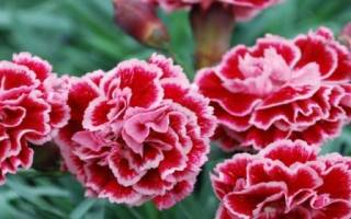 Цветы гвоздики фото садовые