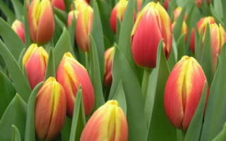 Названия сортов тюльпанов и их фото