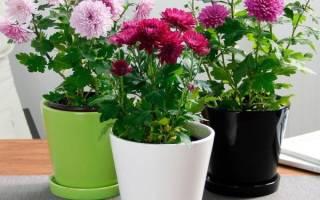 Уход за хризантемой в горшке в домашних условиях после цветения