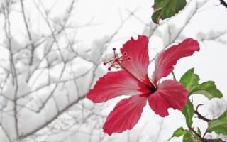 Гибискус прекрасный и полезный фото
