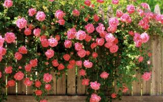 Уход за вьющимися розами