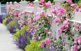 Розы на газоне фото