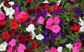 Особенности выращивания петунии