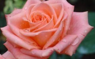 Чайно гибридные розы сорта роз
