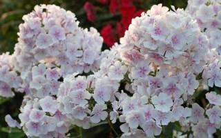 Особенности агротехники и секреты выращивания флоксов