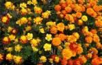 Цветы чернобривцы польза красота неприхотливость