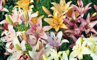Саженцы лилии для летней посадки