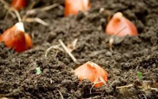 Посадка тюльпанов под зиму особенности процедуры