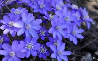 Синие цветы картинки