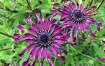 Цветы остеоспермум описание и особенности ухода