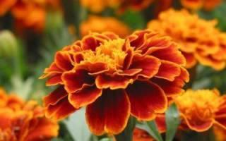 Можно ли выращивать бархатцы как комнатное растение