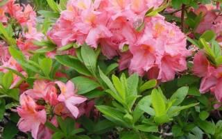Азалия фото садовая