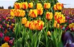 Откуда появилось слово тюльпан