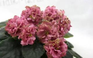 Как определить сорт фиалки по цветку