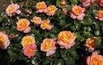 Роза чайно гибридная уход и посадка и уход в
