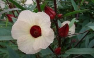 Суданская роза каркаде выращивание