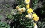 Розы для тенистых мест