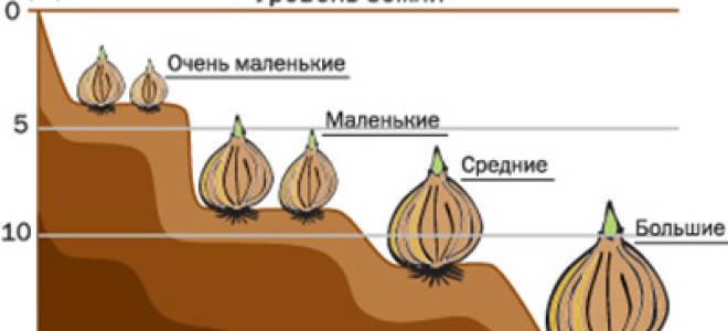 Посадка тюльпанов сроки