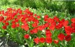 Перекопка почвы для тюльпанов
