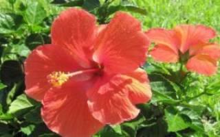 Гибискус древовидный садовый описание растения уход размножение
