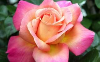 Роза чикаго пис фото и описание