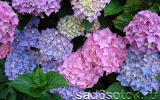 Как правильно ухаживать за гортензией в саду