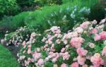 Что такое почвопокровная роза