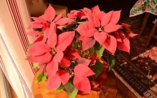 Адаптация комнатного цветка пуансеттия к домашним условиям