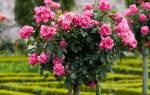 Штамбовые розы виды