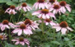 Эхинацея пурпурная рецепты народноголекарства при простуде