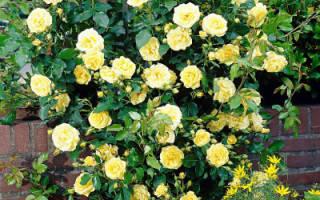 Роза голден шауэрс фото и описание