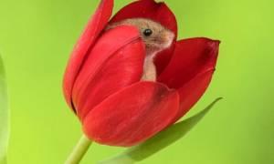 Методы защиты тюльпанов