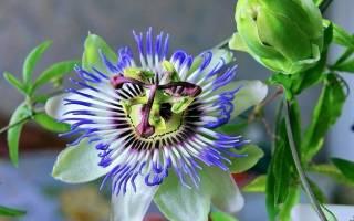 Виды и сорта растения пассифлора фото и описание популярных разновидностей