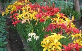 Садовые лилии посадка и уход советы садоводам