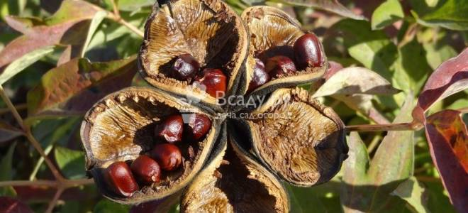 Размножение пионов осенью