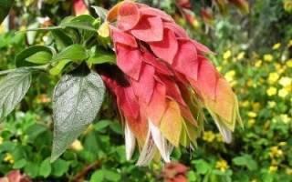 Белопероне beloperone или комнатный хмель уход и выращивание