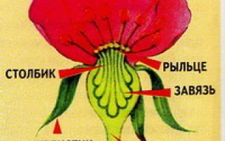 Строение цветка розы