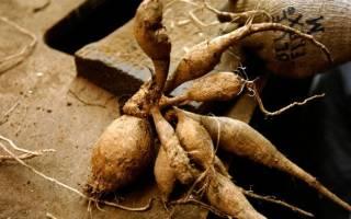Как хранить георгины зимой в подвале