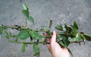 Розы черенками в домашних