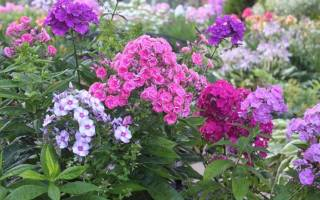 Любимцы садоводов флоксы однолетние посадка и уход