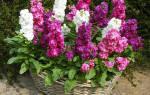 Левкой седой летний выращивание в саду и в контейнере
