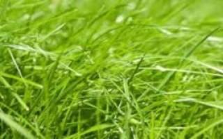 Райграс многолетний описание для газона