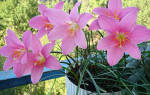 Зефирантес zephyranthes комнатный цветок уход размножение и фото