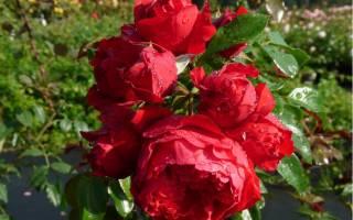 Роза плетистая флорентина rose climber florentina